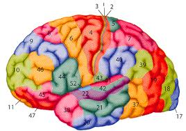 Your Brain on Brodmann