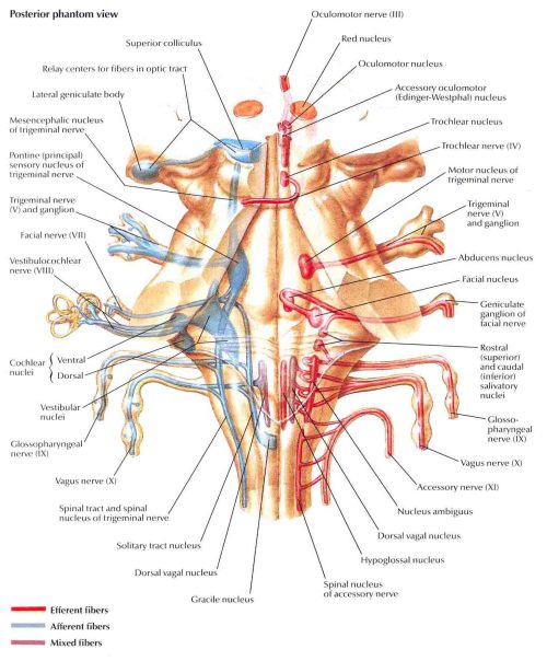 cranial-nerve-nuclei-in-brainstem-schema-2