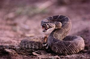 diamondback-rattlesnake-crotalus-joel-sartore