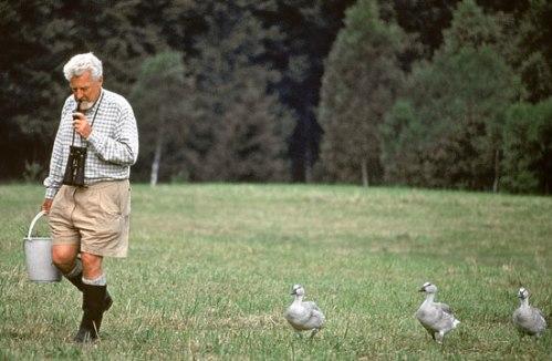 Goslings Trailing Konrad Lorenz