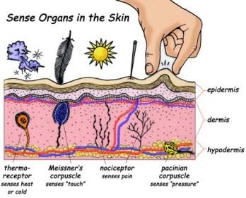 skin sensory organs