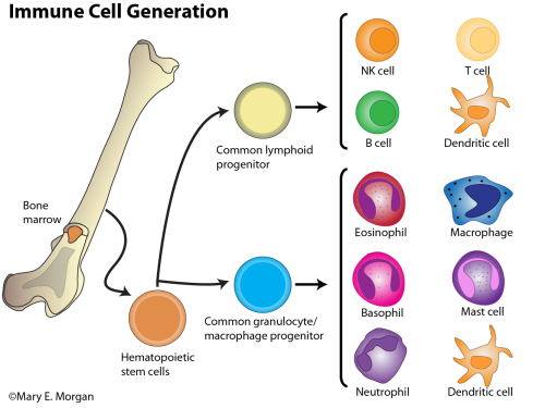 figure-1-immune-cell-generation