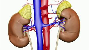 Your Kidney-Topping Adrenals