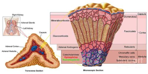 adrenal-gland-cross-section-stocktrek-images
