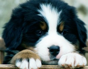 bernese-bernese-mountain-dog-breed