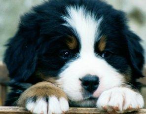 bernese-bernese-mountain-dog-breed