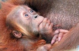 a sumatran-orangutan-profile.jpg
