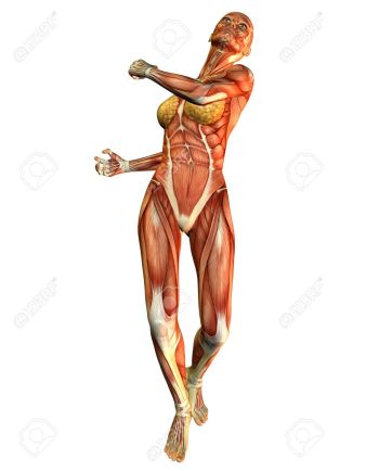 7999632-3D-rendering-of-a-motion-study-of-a-woman-Stock-Photo-anatomy-muscle-female.jpg