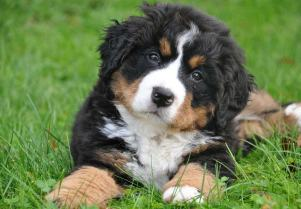 Bernese_Mountain_Dog_SERP.jpg