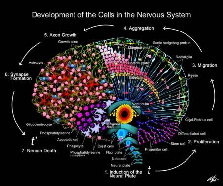 Brain Developing