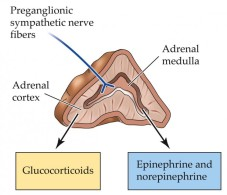 Adrenal-gland-and-hormones-744x640.jpg