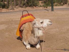 camel-1307355_960_720