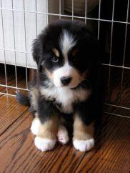 Berner Pup.jpg